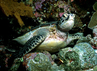 "Green Sea Turtle at ""German Channel"" Dive Site, Palau, Micronesia"