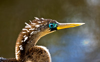 Anhinga, Big Cypress National Preserve, Everglades