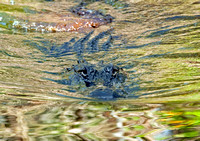 Large female Alligator in Fakahatchee Strand, Everglades
