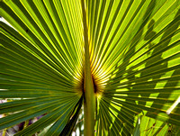 Saw Palmetto, Old Miami to Naples trail, Everglades