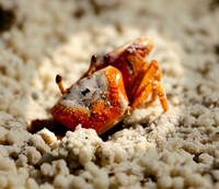 Tiny Fiddler Crab, Tigertail Beach, Marco Island