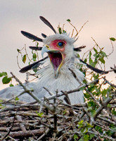 Secretary Bird in its Nest at Sunset in the Masai Mara
