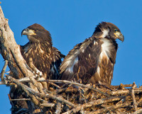 Bald Eagle Chicks in their Nest, Kice Island