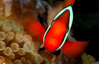 Spinecheek Anemonefish, Wakatobi Archipelago, Indonesia