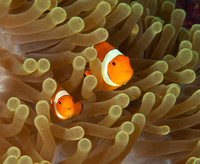 False Clown Anemonefish, Wakatobi Archipelago, Indonesia