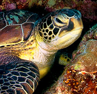 Green Turtle, Wakatobi Archipelago Indonesia