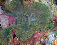 Giant Clam, Wakatobi Archipelago, Indonesia