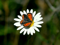 American Copper butterfly on a Daisy