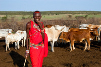 Masai Warrior Tending Village Cows