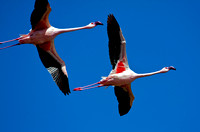 Flight of Flamingoes at Lake Nakuru