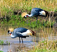 Colorful Grey-Crowned Cranes in the Masai Mara