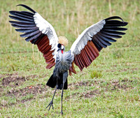 Grey-Crowned Crane Displaying its Wings, Masai Mara