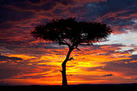 Acacia Tree at Sunset, Masai Mara Reserve, Kenya