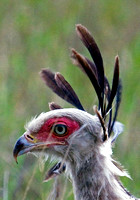 Secretary Bird Looking for Prey in the Masai Mara