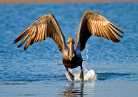 Photo 2 of 4,  Brown Pelican Taking off, Tigertal Beach, Florida