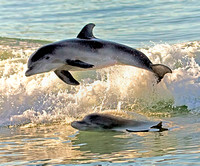Playful Dolphins in the Gulf of Mexico