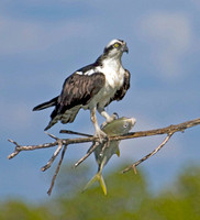 Photo 1 of 3, Osprey Flying with Large Fish, Kice Island, Florida