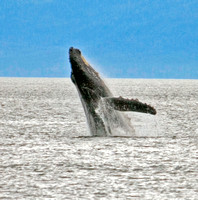 Photo 2 of 4, Humpback Whale Breach, Alaska