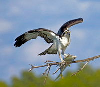 Photo 2 of 3, Osprey Flying with Large Fish, Kice Island, Florida