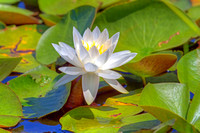 "White Waterlily in Pond by ""Painted Rock"""