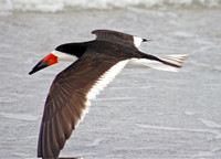 Photo 1 of 2, Skimmer in Flight, Marco Island, Florida