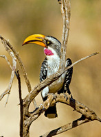 Colorful Yellow-billed Hornbill, Samburu