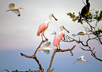 Roseated Spoonbills and Flock of Ibis at Sunset, Rookery Bay