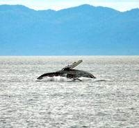 Photo 4 of 4, Humpback Whale Breach, Alaska