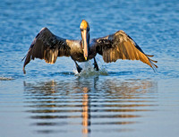 Photo 1 of 4, Brown Pelican Taking off, Tigertail Beach, Florida