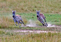Photo 1 of 2, Two Juvenile Zebras Racing, Kenya