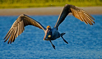 Photo 4 of 4, Brown Pelican Taking off, Tigertail Beach, Florida