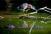 Startled Little Green Heron and Baby Alligator, Everglades