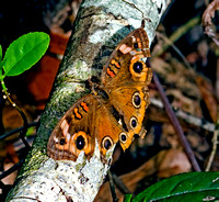Buckeye Butterfly, Big Cypress National Preserve, Everglades