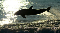 Silhouette of Jumping Dolphin at Sunset, Gulf of Mexico