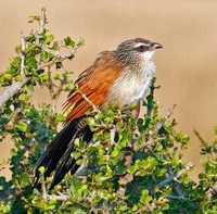 White-browed Coucal, Masai Mara Preserve