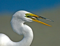 Photo 3 of 5 Showing Great Egret Swallowing Fish, Tigertail Beach, Marco Island