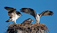 Osprey Mom and Chicks in Nest, Tigertail Beach, Marco Island